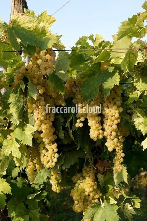 uva-bianca_6647