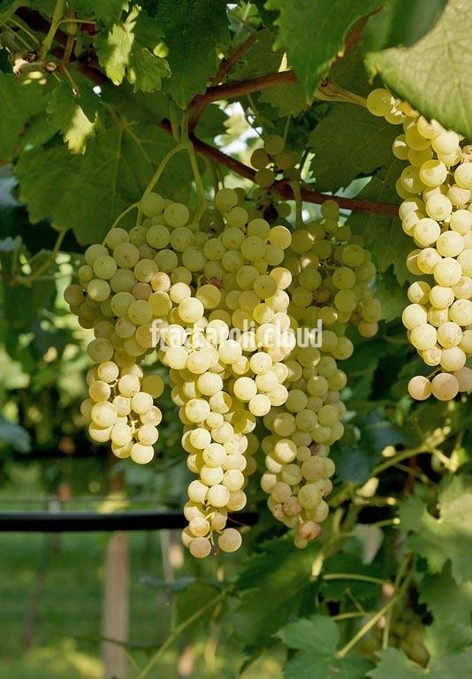 uva-bianca_6657