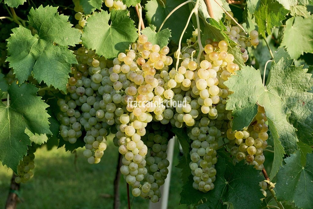 uva-bianca_6664