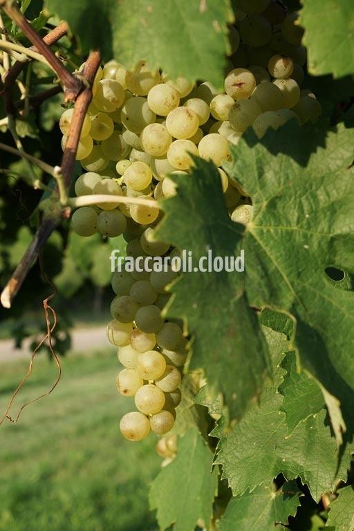 uva-bianca_6667