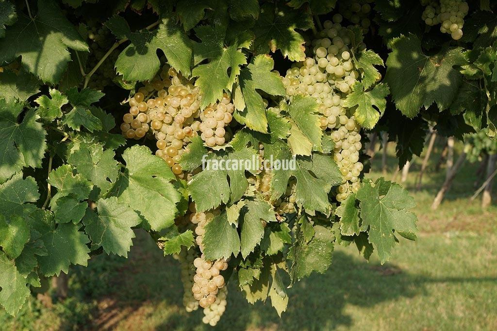 uva-bianca_6694
