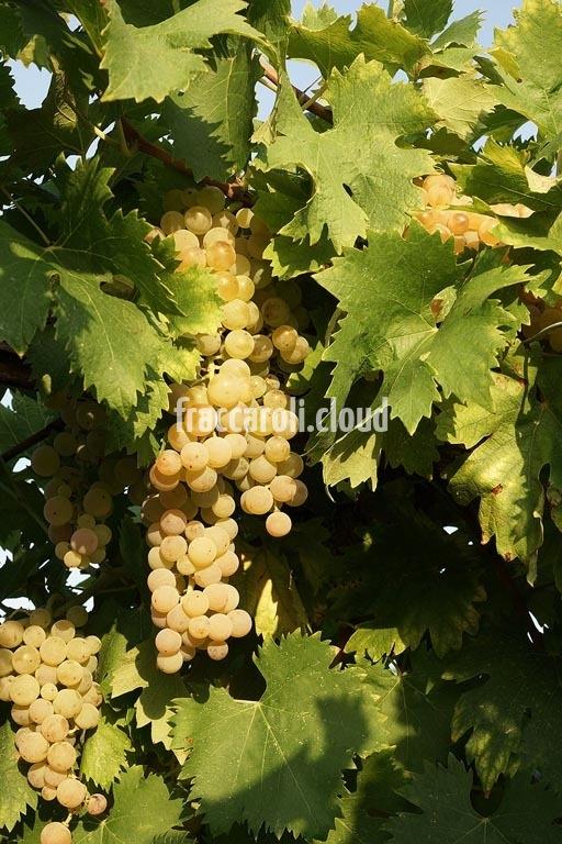 uva-bianca_6703