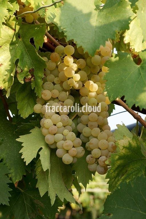 uva-bianca_6704