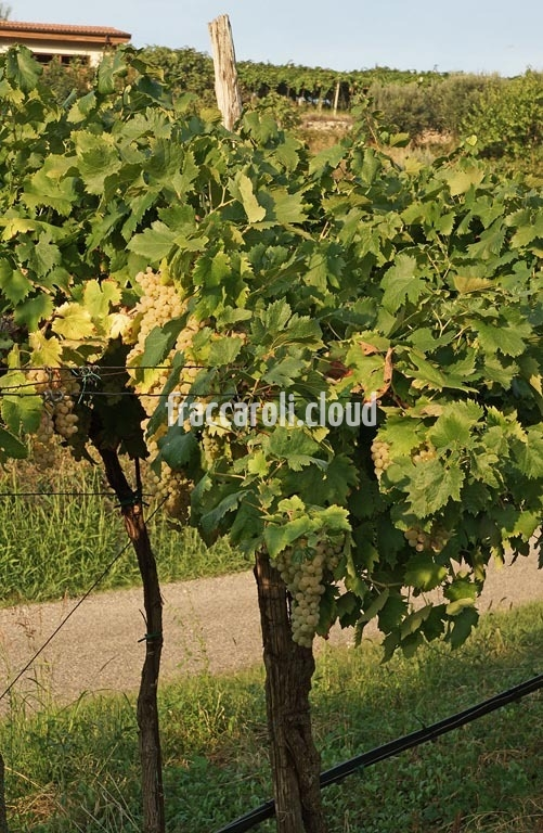 uva-bianca_6706