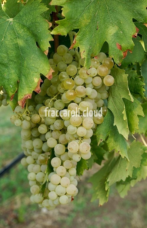 uva-bianca_6707