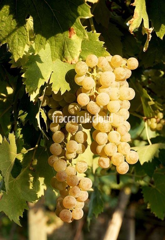 uva-bianca_6709