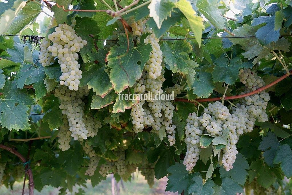 uva-bianca_6713