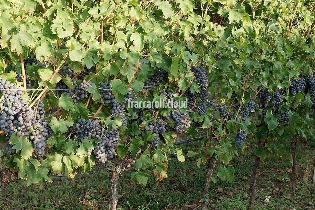 uva-rossa_6681
